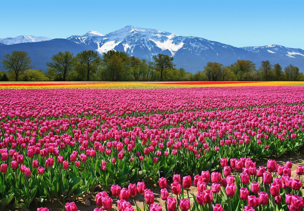 00137_Tulips