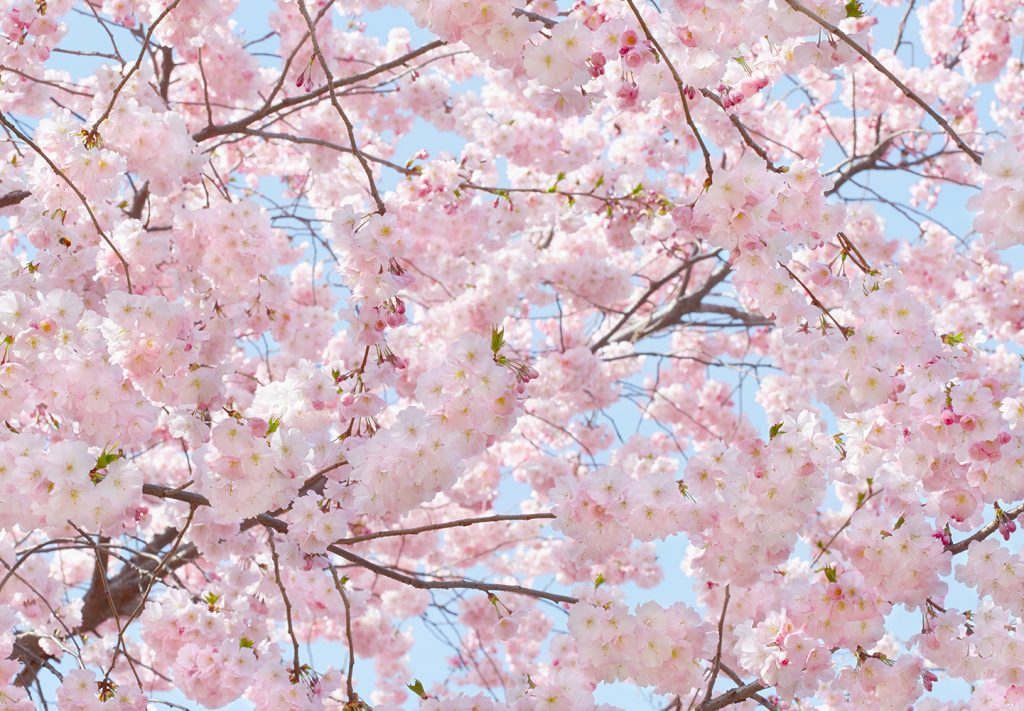 00155_Pink_Blossoms